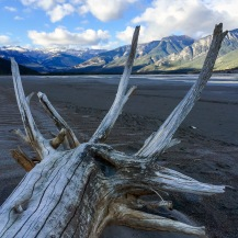 Driftwood in the Athabasca.